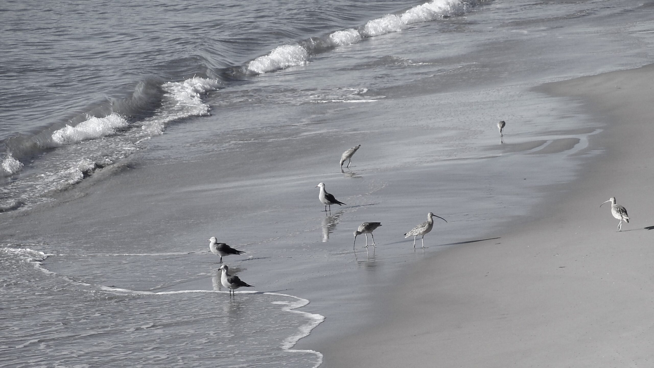 Birds at the edge of the surf in Santa Barbara